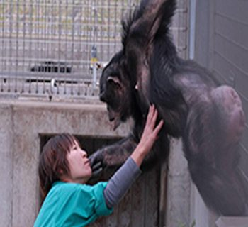 Down syndrome in Chimpanzee: Excerpts from Japan